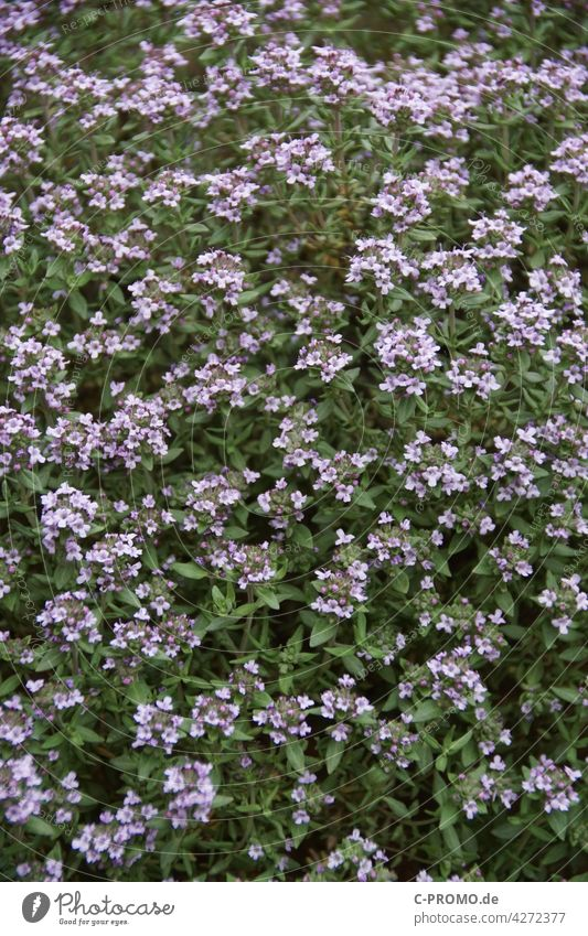 flowering thyme Thyme roman thyme Tripe Garden Thyme seasoning herbs blossoms Spice plant Spring Green lavender blue mediumpurple