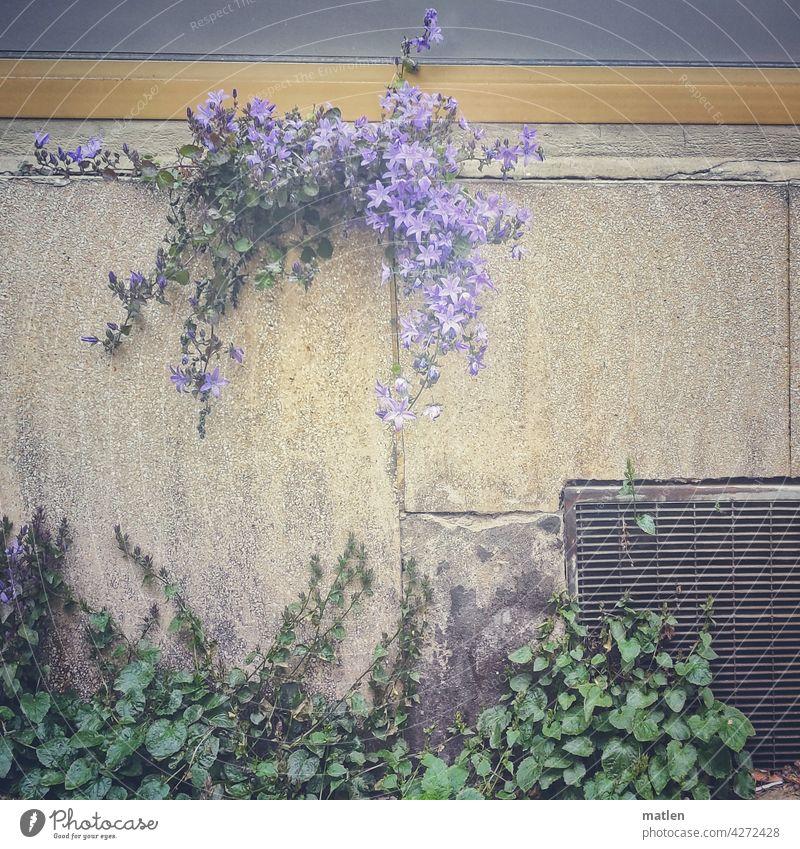 survival artist Wall (barrier) Bluebell Flower Nature Blossoming Exterior shot Colour photo