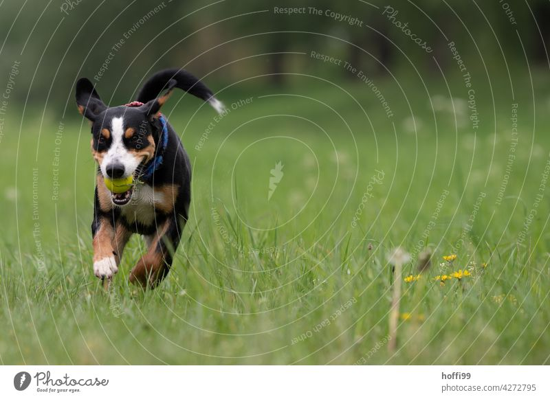 a young dog runs across a meadow Puppydog eyes Animal portrait Dog's snout Looking Meadow Green Wait Dog's head Animal face Pelt Dog eyes Watchdog Snout Nose