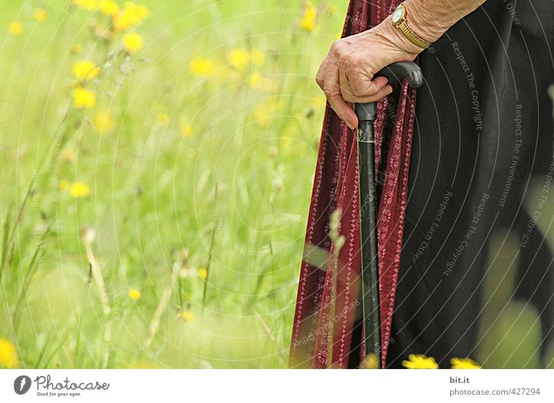 Old woman in need of care, supports herself fit on a stick and walks on a green summer meadow with flowers. Female senior supported by a helper during a walk. Optimistic, lively senior with cane, apron and dirndl, holding a walking frame in her wrinkled hand.
