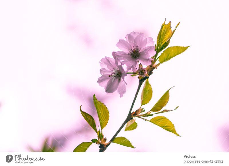 Spring Cherry naturally Pink Blossom petals Hanami sakura spring feeling sunny colourful Spring day sunny spring day Blossoming blossom Cherry Blossom Festival