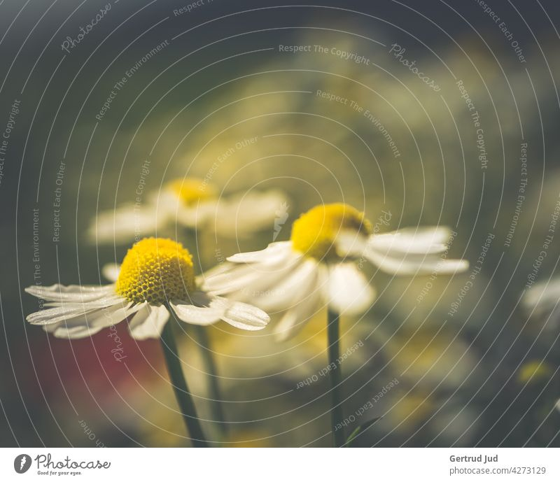 Chamomile flowers in the evening light Flower Flowers and plants Blossom Colour white Nature Plant Garden Summer Colour photo Exterior shot Close-up Meadow Dusk