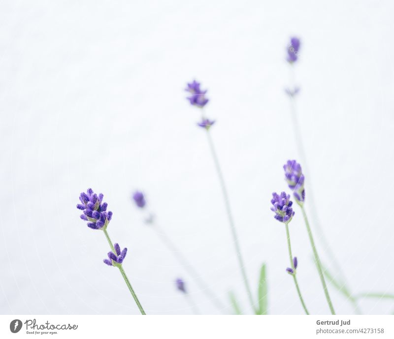 Lavender flowers against white background Flower Flowers and plants Blossom Color purple Spring Nature Plant Garden Colour photo Summer Blossoming