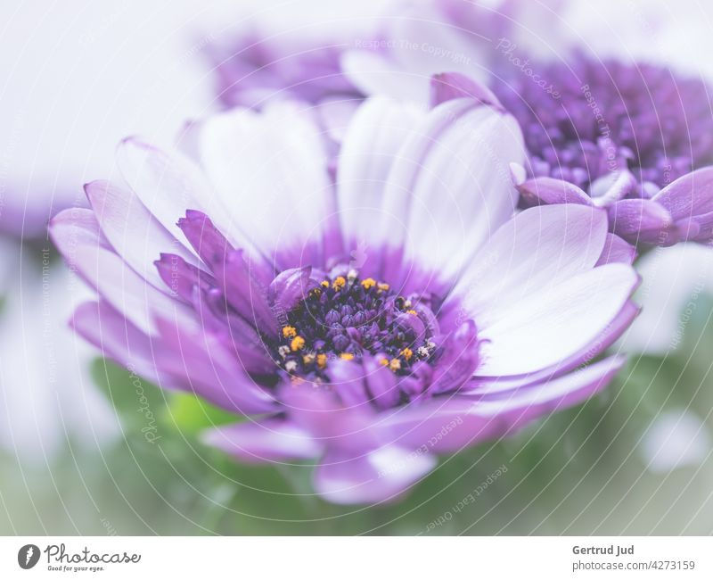 Purple Cape Marguerite in bloom Flower Flowers and plants Blossom Color purple Spring Plant Nature flowers Summer Garden Blossoming Colour photo Exterior shot