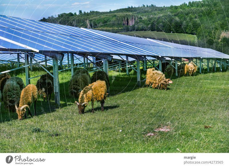 Sheep grazing under a solar plant sheep Meadow graze Solar cell Herd Nature Solar Energy Solar system solar energy Renewable energy Energy industry Solar Power