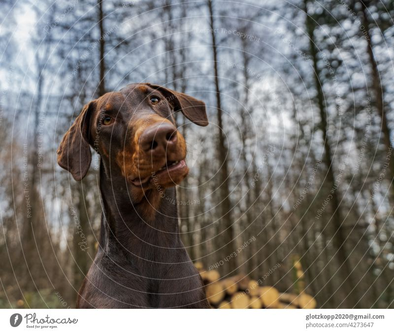Brown Doberman looks into the camera with tilted head Dog Pet faithful look brown dog in the wood out Summertime Pet dog take a walk Dog's head portrait