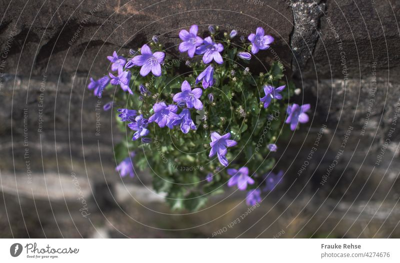 Purple bellflower decorates a wall Hanging Cushion Bellflower Bluebell Violet Green Gray Wall (barrier) stones wallflower sparkle in the sun Contrast Blossom