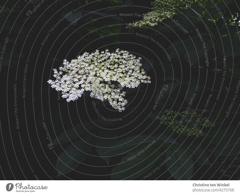 White fragrant flower of the black elder / lilac berry / elder / Sambucus nigra Elderflower black elderberry Green holler elder bush lilac berries Blossom