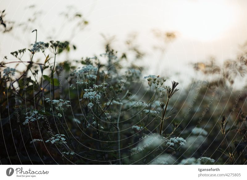 roadside savagery plants blossoms wayside Spring Sunset Back-light uncontrolled growth Wild plant Exterior shot Flower Plant Nature Blossom Blossoming