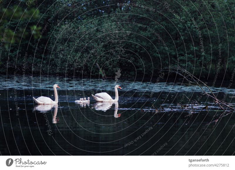 Swan Family swan family Chick Bird Baby animal Exterior shot Deserted Animal portrait Day Wild animal Copy Space top young generation Animal family Cute