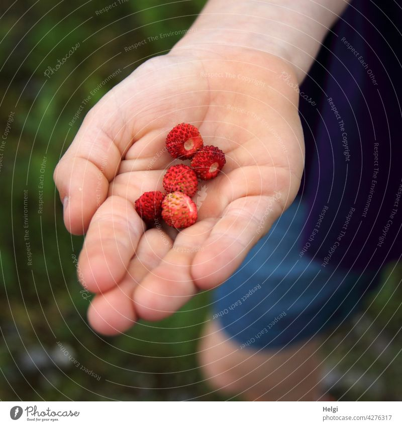 freshly picked wild strawberries in the hand of a child Wild strawberries Fruit Wild plant Forest fruit Hand Children`s hand Close-up stop Colour photo