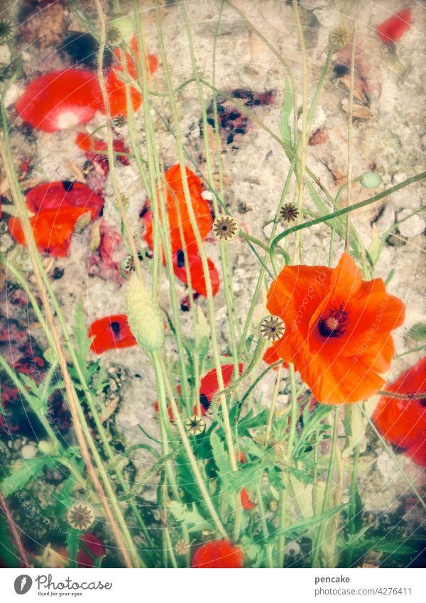 mohntag am mittwoch Mohn Blüte rot bunt Feld Natur Garten blühen wachsen natürlich Nahaufnahme