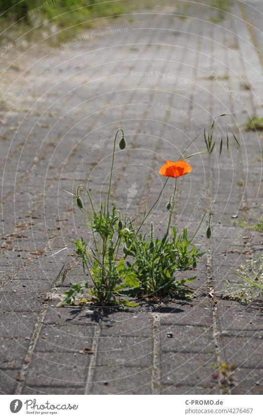 Poppies bloom on sidewalk Poppy Poppy blossom off break through Nature Town urban Blossom Corn poppy