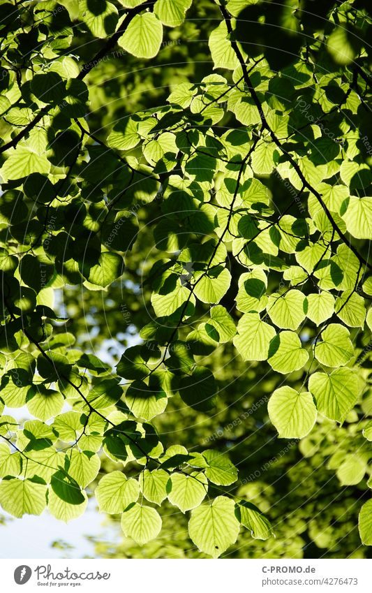 Foliage leaves in sunlight Tree Forest Forestry co2 sustainability Leaf Twig Green Sun Sky Deciduous tree Spring Lime tree Lime leaf Linden tree summer linden