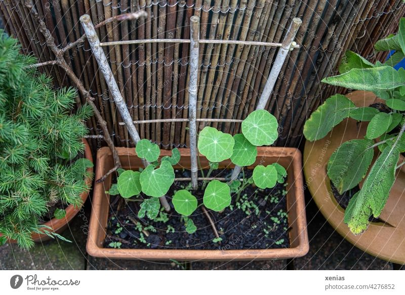 Nasturtium growing in a rectangular terracotta with trellis between sage and small conifers leaves Plant rambling Terracotta Green Growth Nature Garden Round