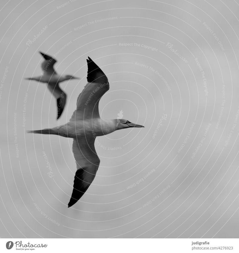 Two gannets in flight Northern gannet Bird Flying Ocean Sea bird Boobies elegance Grand piano Sky Wild animal Animal Nature Freedom Environment Couple two