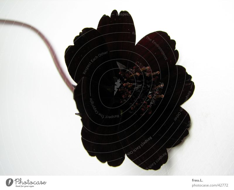black widow Stamen Flower Black Plant Leaf Beautiful Modest Blossom leave Red Decoration Simple scabious witch flower Nature