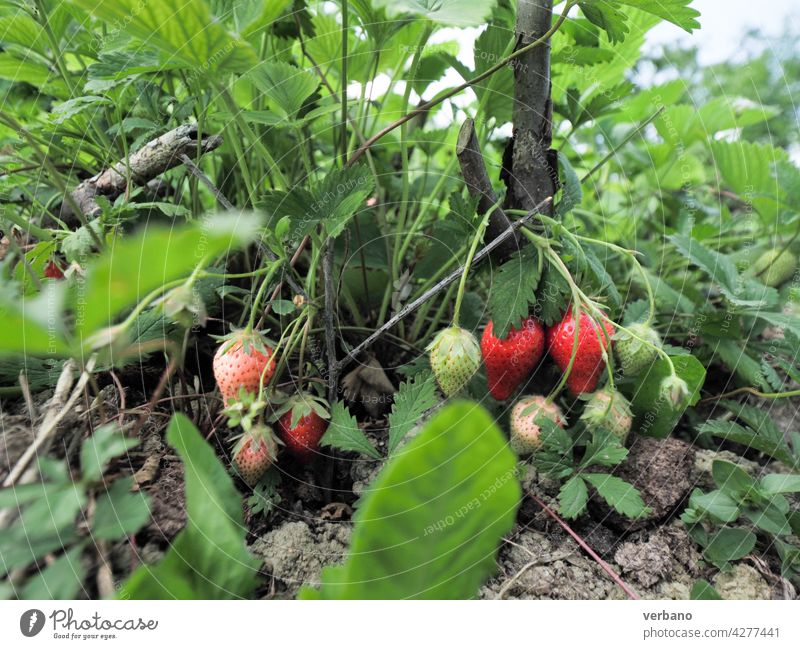 strawberry plants and fruits and organic soil close up before the harvest field summer agriculture fresh farm ripe red garden hand food strawberries green