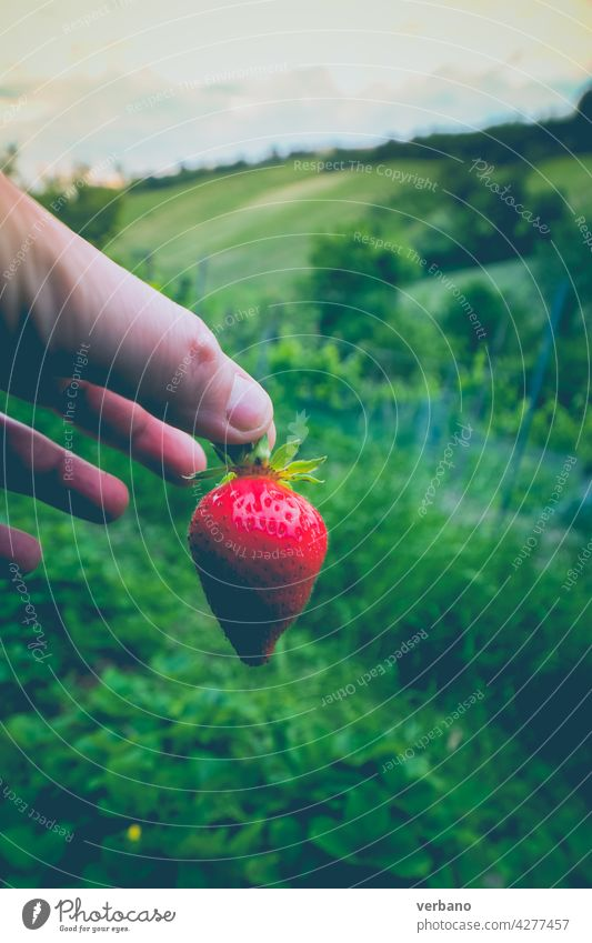 Hand of caucasian farmer showing a fresh organic strawberry fruit just picked against the green strawberry fields summer agriculture ripe red garden hand plant