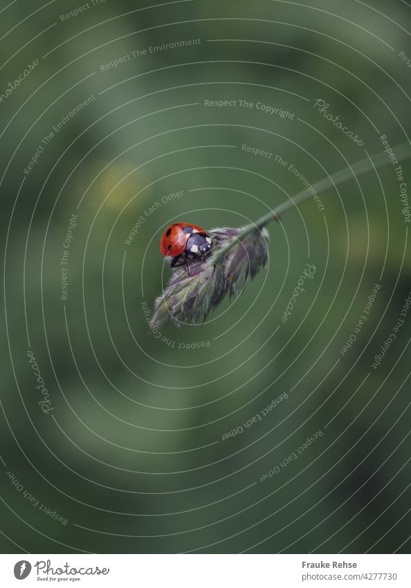 A ladybird rests on a blade of grass Ladybird lucky beetle Beetle scarlet grass black spots Cute Red dimpled risp Eaves Meadow grey-green Good luck charm points