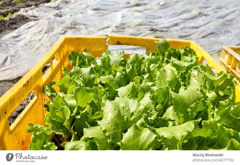 Organic vegetable seedlings in a box on a farm, selective focus. eco organic bio mulch garden lettuce agriculture food agrotextile harvest plasticulture natural