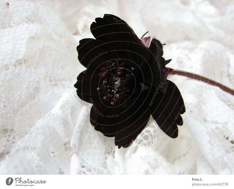 Nature Flower Plant Red Leaf Black Simple Kitsch Decoration Point Cloth Stalk Noble Stamen