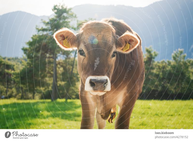 Cute sunlit calf of the Braunvieh breed on an alpine meadow in the mountains, Mieming, Tyrol, Austria Cow Calf brown cattle Animal Baby Nature Brown Farm Alps