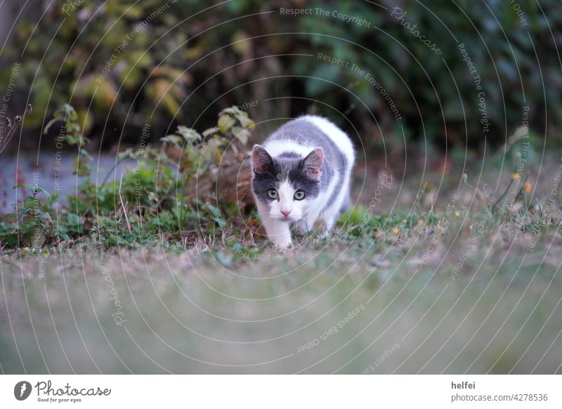 Central european shorthair cat sneaks up on her prey, looking directly into the camera look into the camera Gray White eyes Animal Pet Domestic cat pussy