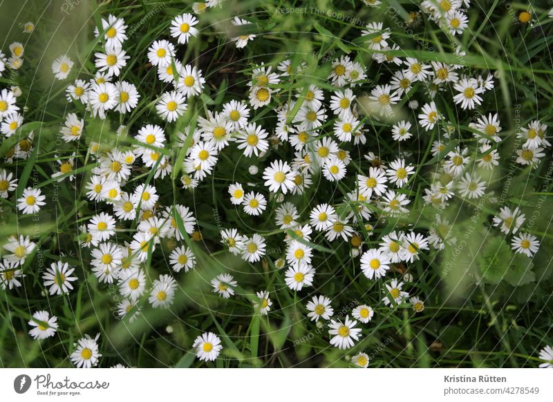 daisy meadow Daisy Thousand Beautiful little flowers Flower meadow Meadow grasses blossoms meadow flowers wild flower Plant Green out Wild Nature Habitat Spring