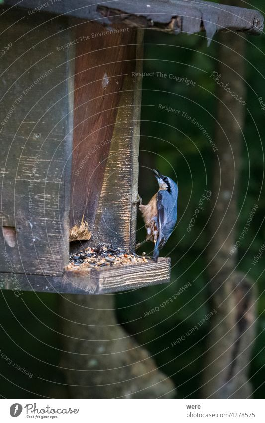 Nuthatch pecking for food in a bird feeder animal copy space fly forest nature nobody nuthatch songbird wings