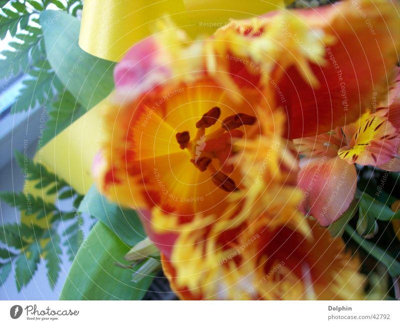tulip Tulip Yellow Flower Blossom leave Close-up Orange