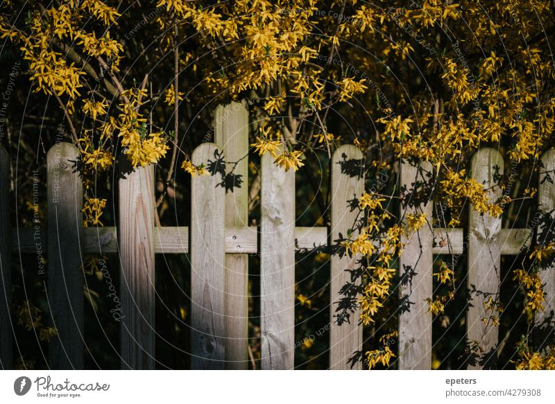 Yellow flowers over a garden fence in the evening sun yellow blossom Fence Garden fence Green Exterior shot Colour photo Plant Nature Blossom Evening