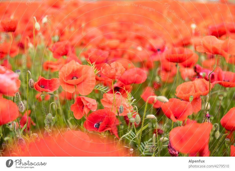 poppy day again.... Poppy Flower Blossom Field Corn poppy Red Summer Meadow Plant Poppy blossom Poppy field Nature Colour photo red poppy Deserted Intensive
