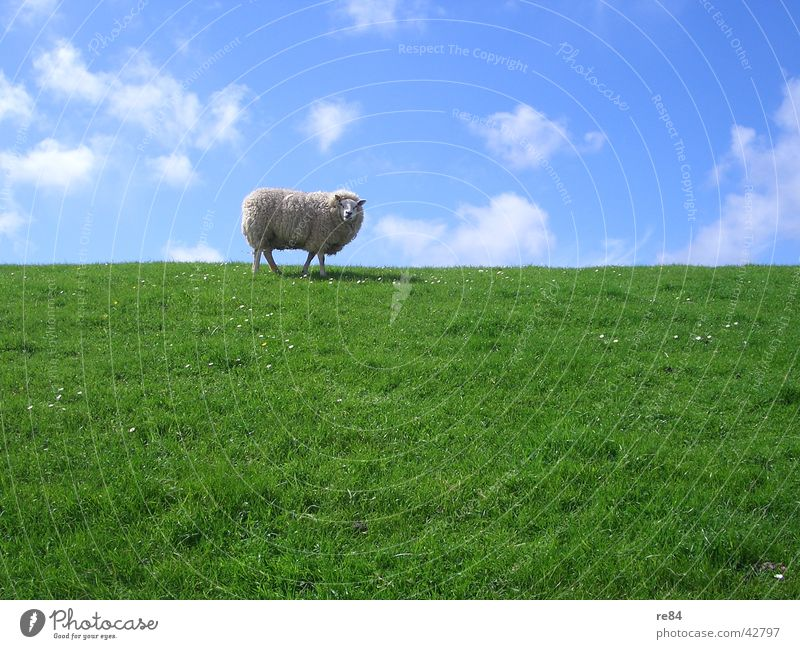 freshly mown Netherlands Mud flats Dike Green Meadow Clouds Grass Wool Animal Calm Boredom White Sky Island North Sea Blue Sheep Texel 1