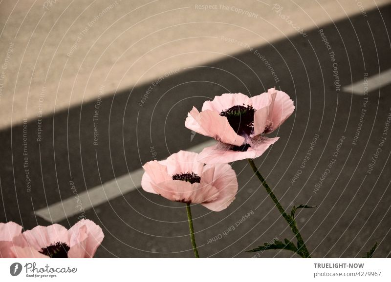 Right next to the road, the June wind has slightly ruffled three brave poppies - who have exchanged their bright red costume because it is Sunday for a delicate pink dress.