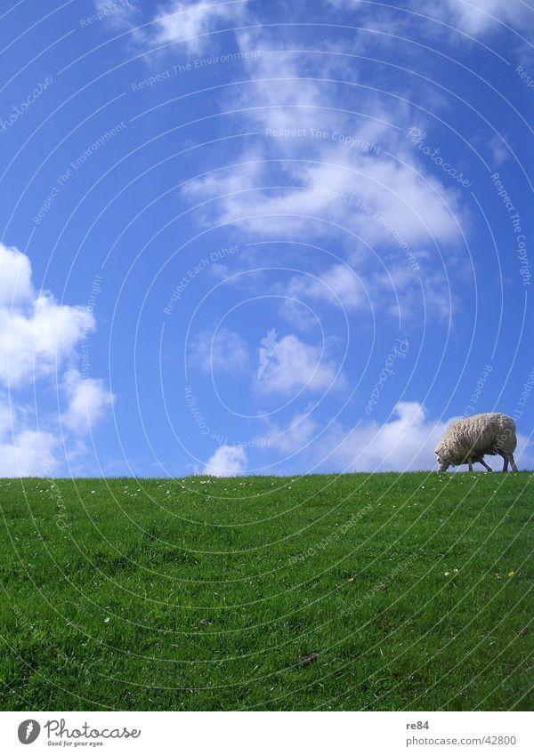 Sky Blue Green White Calm Clouds Animal Meadow Grass Island North Sea Sheep Boredom Wool Netherlands Mud flats