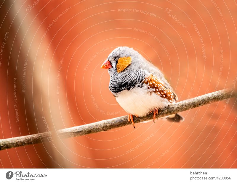 so tired Sleep Fatigue Animal face Wild animal plumage Tree Nature Branch Cute Grand piano feathers Bird Zebra Finch Exceptional Exotic Fantastic pretty Small