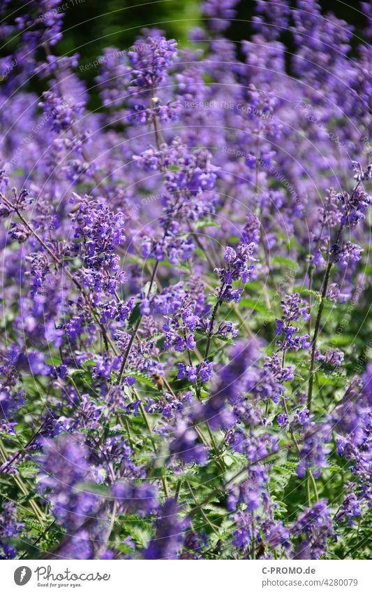 Purple sea of flowers Flower Garden Garden Bed (Horticulture) Green Park Nature purple Blossom Plant