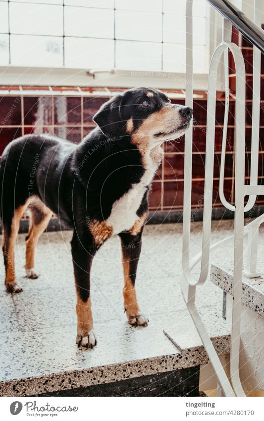 Appenzeller mountain dog in the hallway Appenzell Mountain Dog Animal inside rail tiles at home Wait look Window cute living with dog To go for a walk