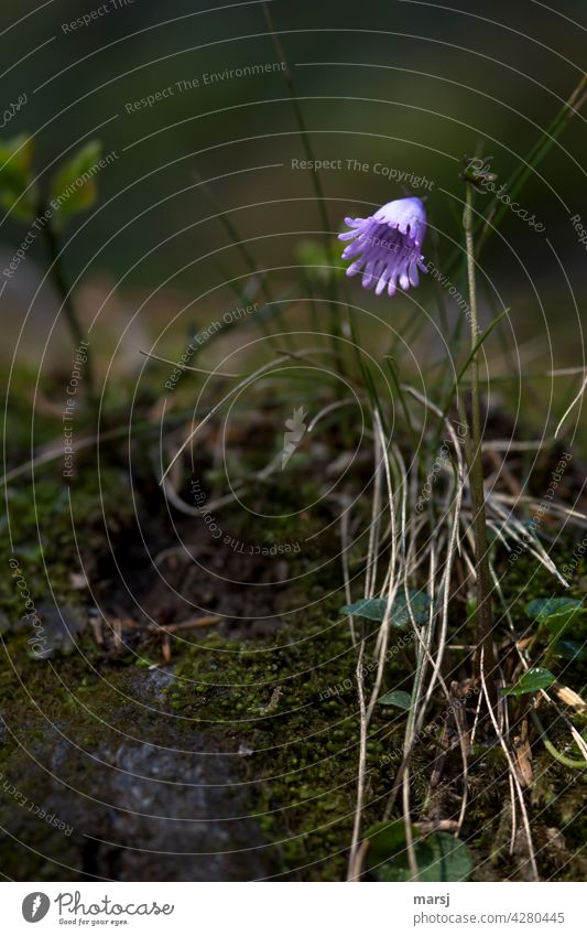 Alpine soldanelle (Soldanella alpina) in the gloom. A fool who thinks of a fool when he thinks of an alpine soldanella. Alpine Soldanelle Alpine Tassel Flower