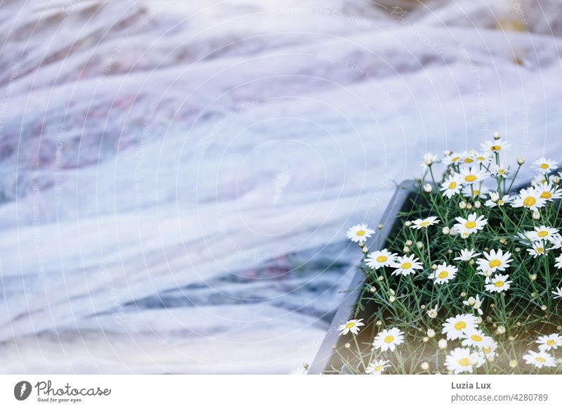Daisies waiting to see what happens to them marguerites Market garden tarpaulin Protection Covers (Construction) Structures and shapes Safety Bright White Crate