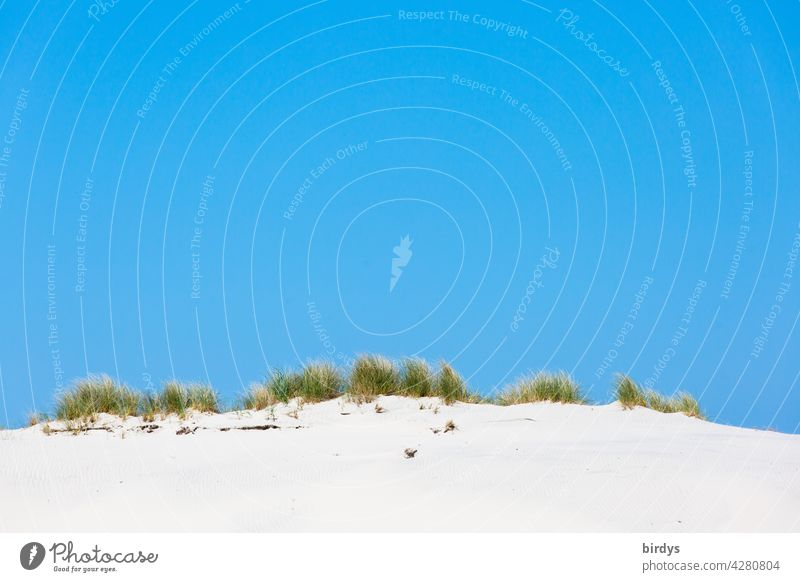 Dune with dune grass in front of bright blue sky duene Sand Beach dune Blue sky Marram grass Summer Nature white sand Cloudless sky warm Beautiful weather