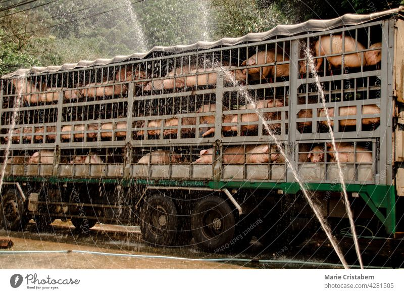 Pigs being sprayed with water to cool down during transport to the slaughterhouse animal transport livestock transport meat industry pig farming water spray