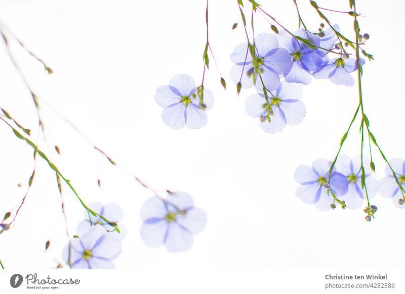 upside down | sky blue flax, perennial flax, Linum perenne against light sky Flax Perennial Flax linum perenne light blue Sky blue Delicate Translucent shrub