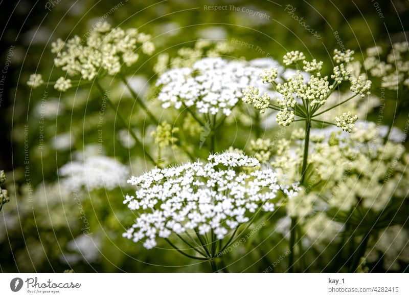 Close up of goutweed flowers Nature Green Foliage plant Plant Colour photo Exterior shot Environment Shallow depth of field Detail Day Forest Wild plant Leaf