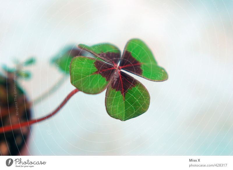Happiness in love Plant Leaf Growth Green Moody Happy Clover Cloverleaf Four-leaved Good luck charm Symbols and metaphors Colour photo Multicoloured Close-up