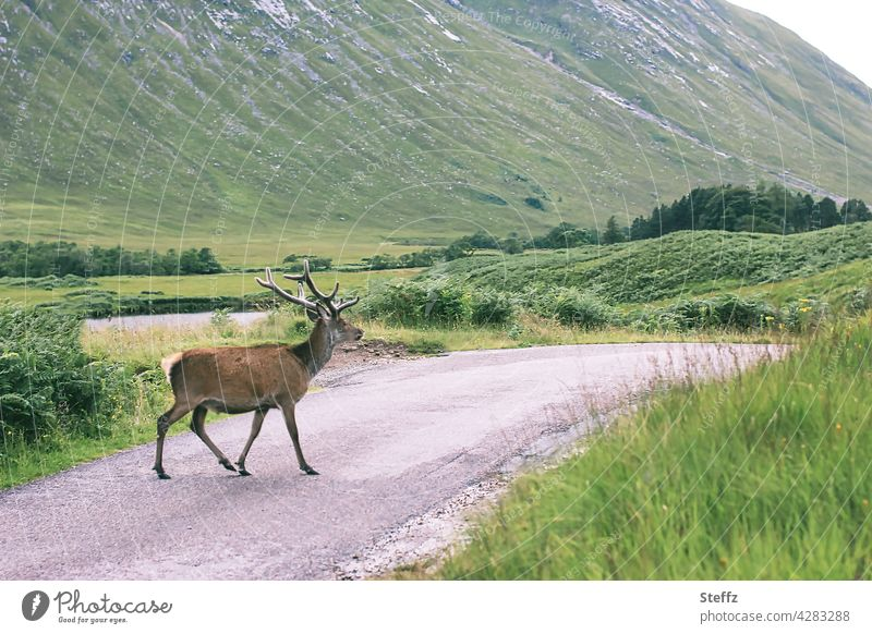 on the road in Scotland stag Free-living Red deer Edelhirsch Scottish Peaceful Freedom Green idyll Hill Rural Encounter green countryside stag's antlers