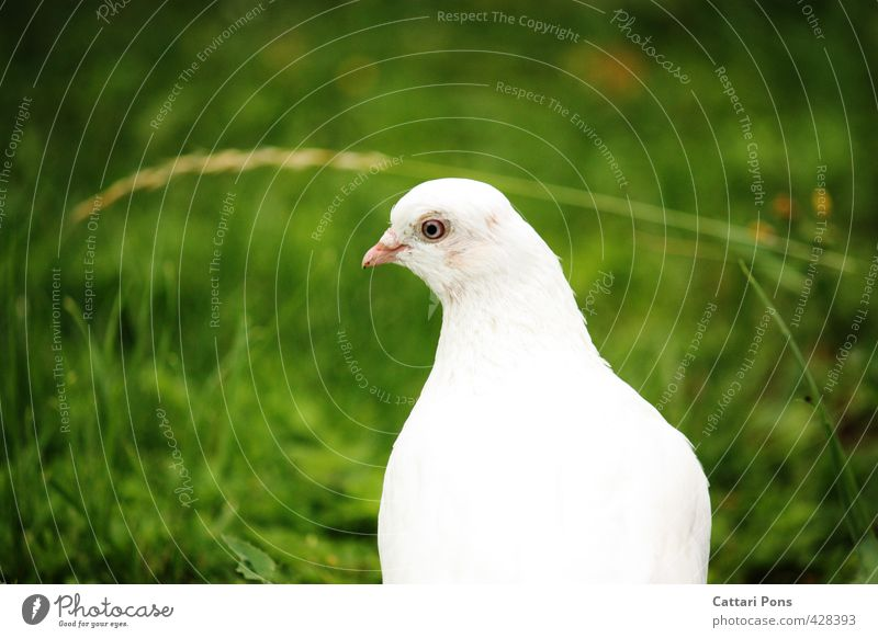 Blue Ground Dove Nature Plant Animal Grass Pet Farm animal Pigeon Animal face 1 Observe Esthetic Elegant Near Beautiful Green White Peace Dove of peace Purity
