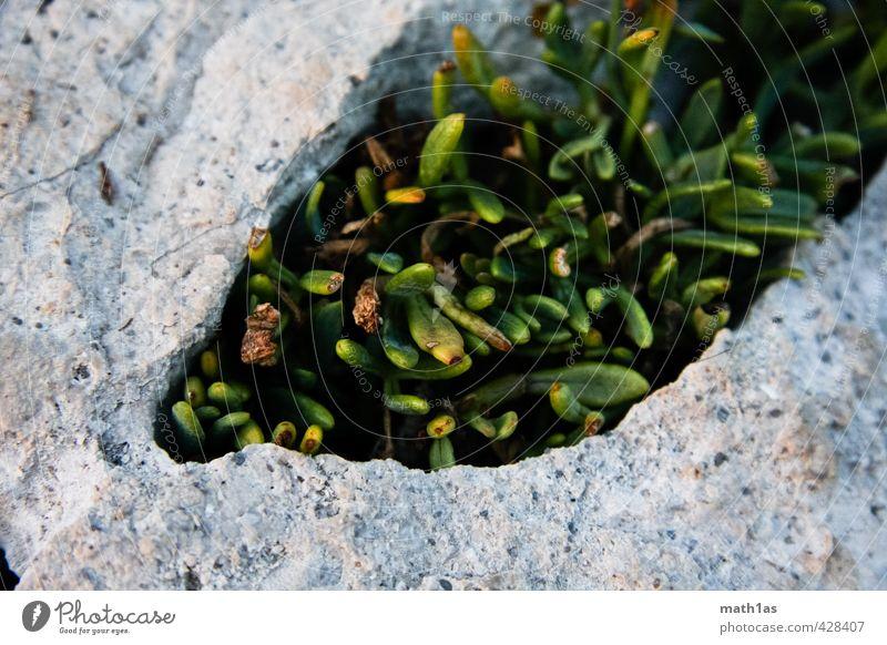 Nature Plant Environment Stone Power Moss Survive Resistance Struggle for survival