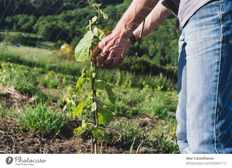 Farmer placing the vine plants on the stakes. Work in the vineyard. vine grower tutors sticks farmer worker planting care bamboo rural young plants growth
